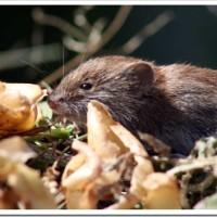 Избавляемся от мышей при помощи народных средств
